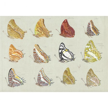 African Charaxes Species