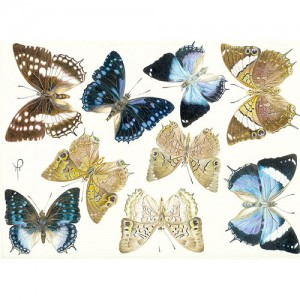 Blue Charaxes Species
