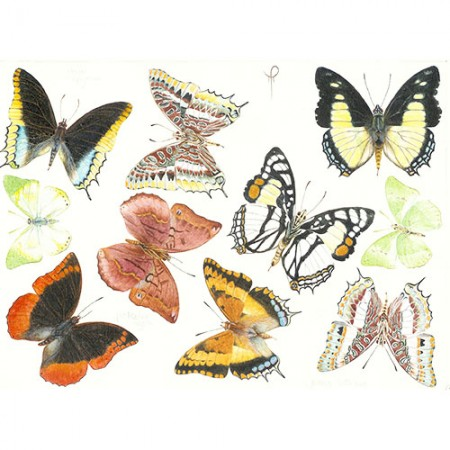 Colourful Charaxes Species