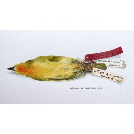 Holub's Weaver specimen