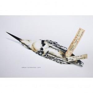 Pied kingfisher specimen