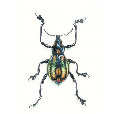 Rainbow Weevil