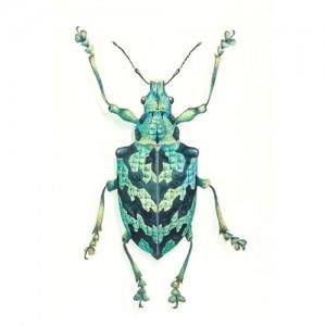 Tropical Weevil