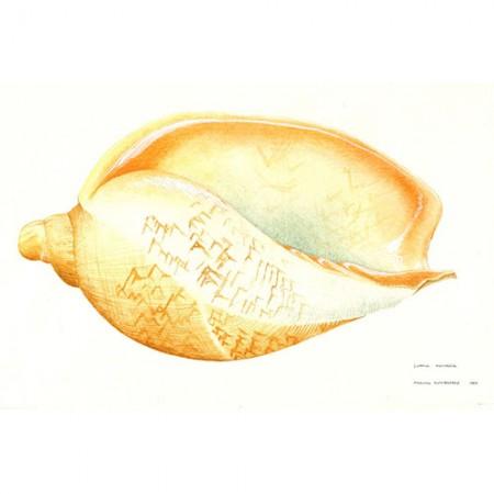 Volute Shell