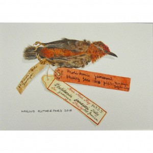 Antpecker specimen