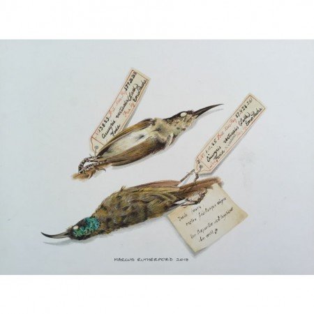 Green headed Sunbird specimens