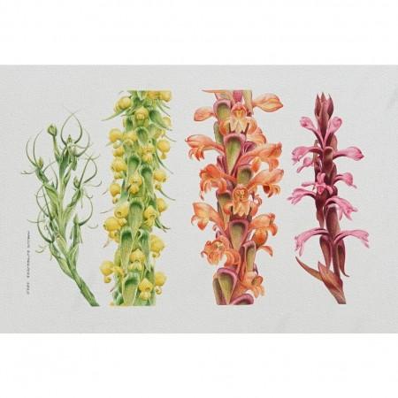 Kipengere orchids - Habanaria cornuta, Satyrium sphaeranthum, S. sceptum, S. princaea
