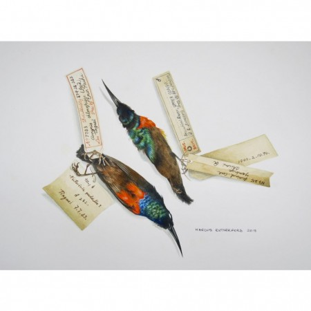 Olive bellied Sunbird specimens