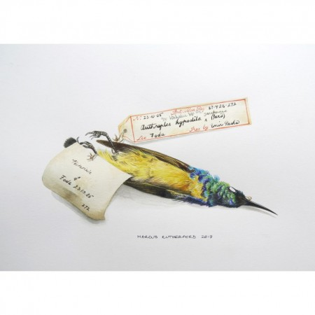 One Collared Sunbird specimen